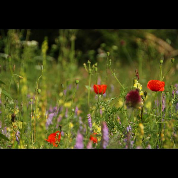 Blumenmischung ASTARTE Das bunte Feld-50 qm