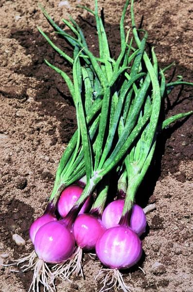 Purplette, (Frühlings-) oder Mini-zwiebel