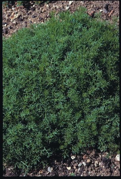 Kamille, römische (Chamomilla nobilis)