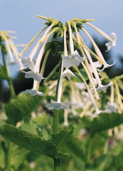 Dufttabak (Nicotiana affinis)