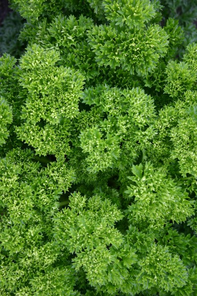 Petersilie krause (Petroselinum crsipum)