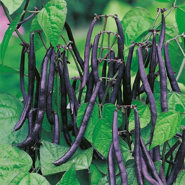 Purple Teepeeh (Buschbohne)