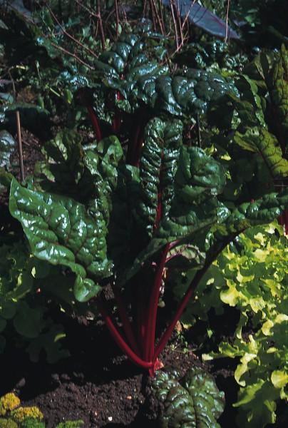 Roter Mangold (Rhubarb Chard)