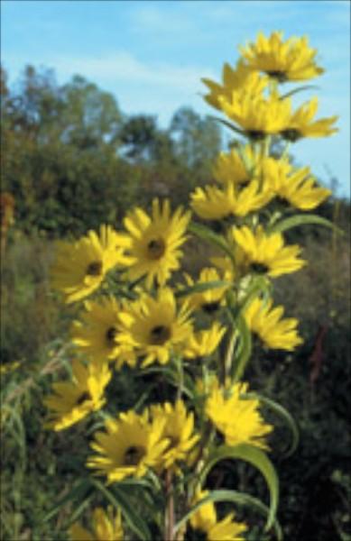 Maximilan (Helianthus maximiliani)