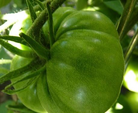 Green Velvet (Fleischtomate)