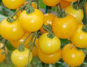 Yellow Current, Johannisbeertomate
