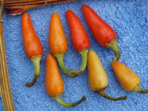 Cascaballa, milder Pepperoni