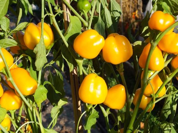 'Yellow Miniature' Gemüsepaprika