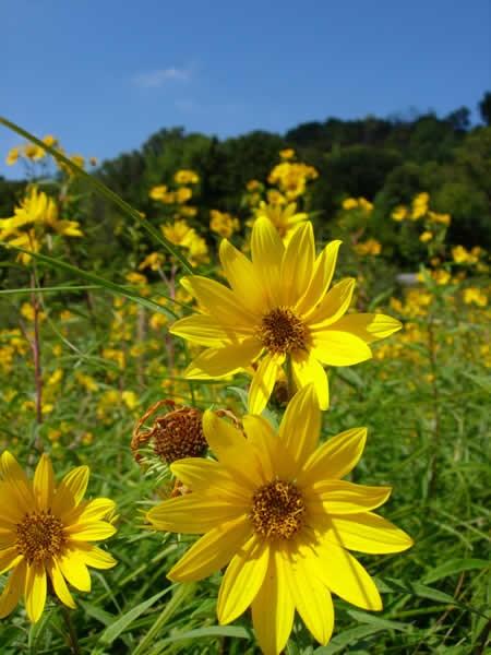Sägezahn-Sonnenblume (Helianthus grosseserratus)