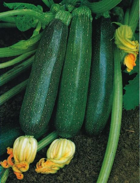 Grüne von Milano, Zucchini