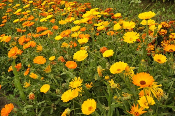 Ringelblumen-Mischung (Calendula officinalis)