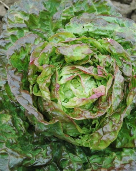 Mescher, Kopfsalat