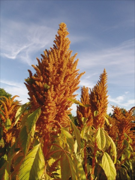 Golden Giant, Amaranth