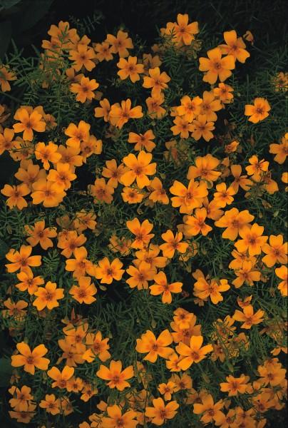 "Speisetagetes ""Golden Gem"" (Tagetes tenuifolia)"