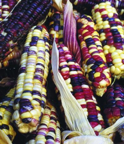 Regenbogen der Inkas, Zuckermais
