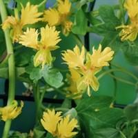 Kanarienkresse (Tropaeolum peregrinum) 25 Korn