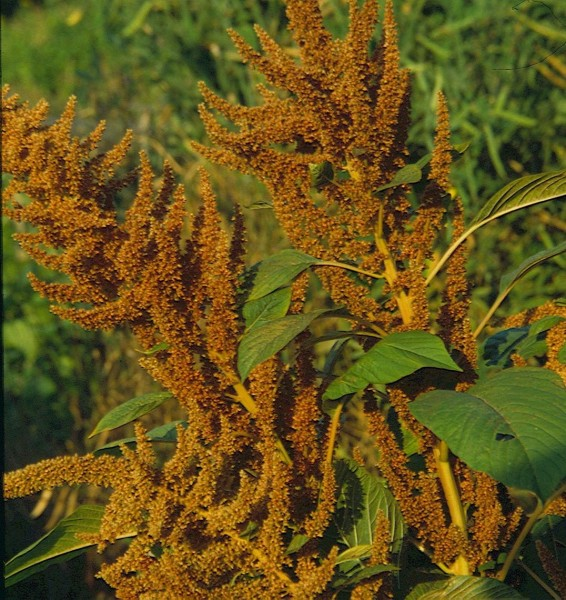 Hot Bisquit, Amaranth