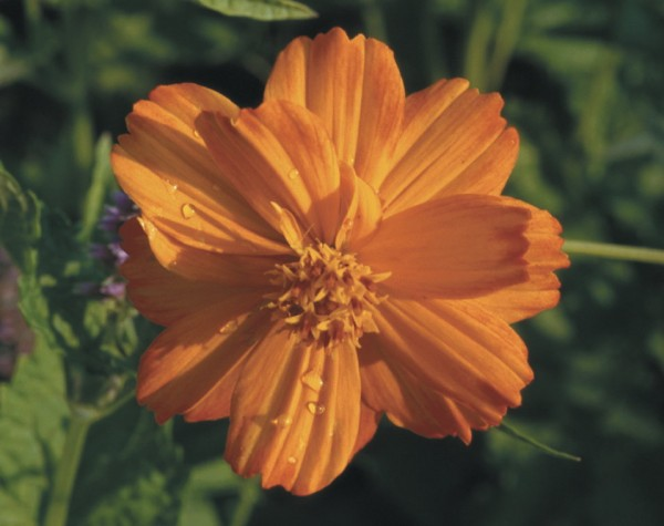 Cosmea, orange (Cosmos sulphureus)