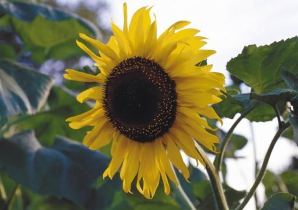 Färber-Sonnenblume Hopi Black Dye