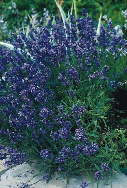 Lavendel, niedrige Mischung (Lavendula angustifolia)