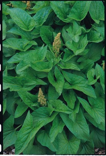 Guter Heinrich (Chenopodium bonus henricus)