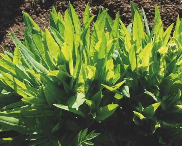 Grüne Hirschzunge, Schnitt-Pflücksalat