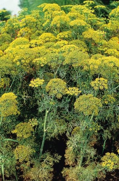 "Dill ""Farnblatt"" (Anethum graevolens)"