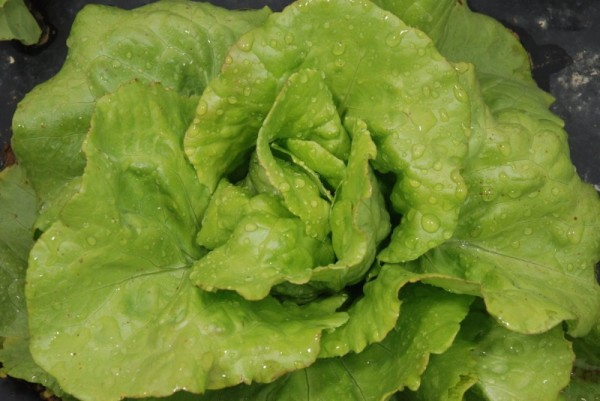 Bon Jardiinier (Gärtnerfreude) Kopfsalat früh