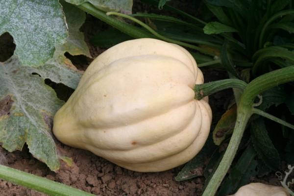 Thelma Sander´s Süßkartoffel, Eichelkürbis