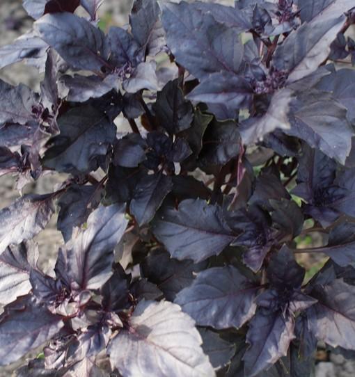 Purple Ruffles (Basilikum)