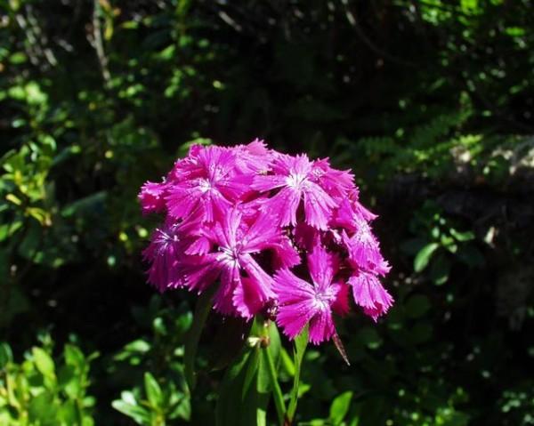 Bartnelke (Dianthus barbatus)