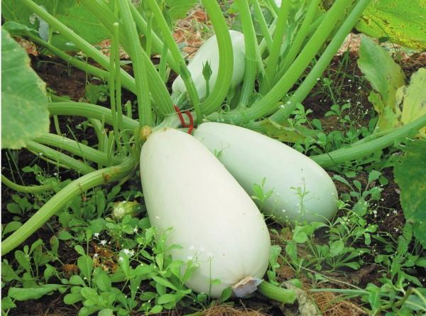 Weiße aus Ägypten, Zucchini
