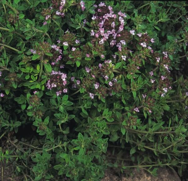 Thymian wilder, Quendel (Thymus pulegioides)