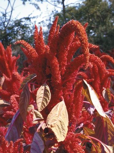 Hopi Red Dye, Amaranth