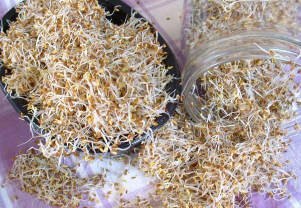 Alfalfa Samen für Sprossen (Medicago sativa) 100g