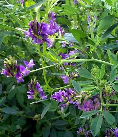 Luzerne (Medicago sativa), Alfalfa