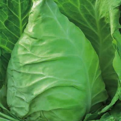 Weißkohl Stierherz (Brassica oleracea)