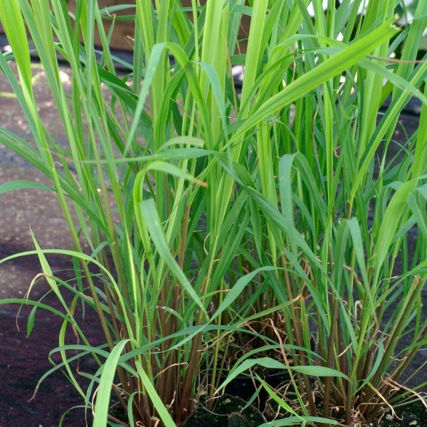 Lemon-Gras East Indian (Cymbopogan flexuosus)