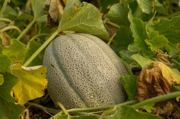 Honigmelone Hales Best Jumbo (Cucumis Melo)