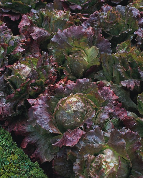 4 Jahreszeiten, Kopfsalat