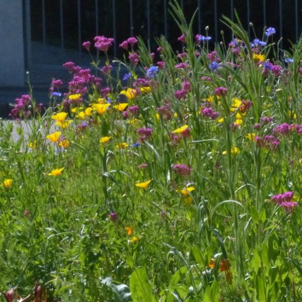 FLORIANE I Einjährige Sommerblumen