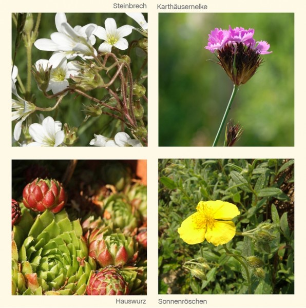 LITHOS Blumen für Steingärten