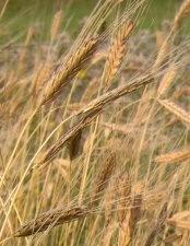 Einkorn (Ur-Getreide)