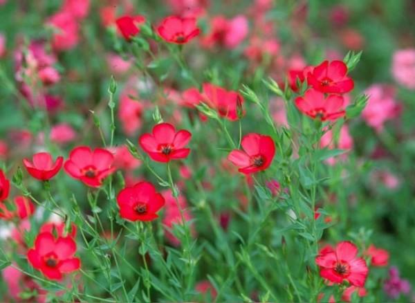 Roter Lein (Linum grandiflorum rubrum)