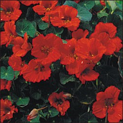 "Kapuzinerkresse ""Empress of India"" (Tropaeolum majus)"