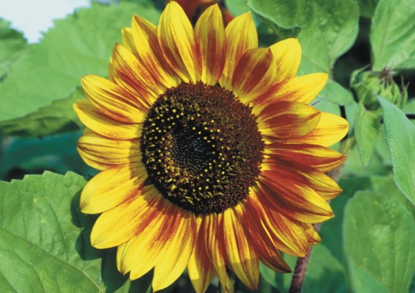 Sonnenblumen Mix