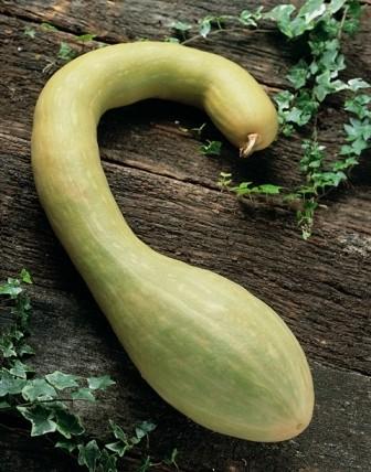 Tromboncino, Zucchini, kletternd