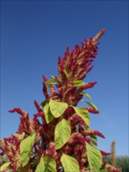 Alegria (Pop Amaranth)