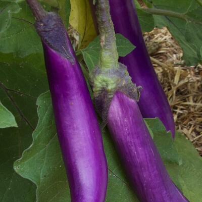 Aubergine Fengyuan Purple