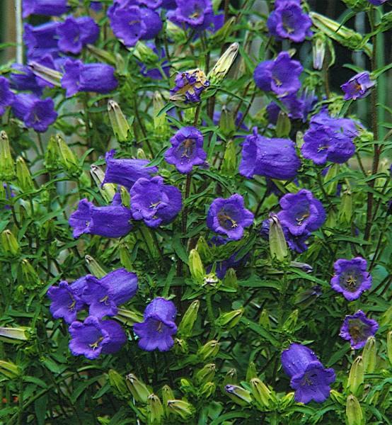 Marienglockenblume (Campanula medium)